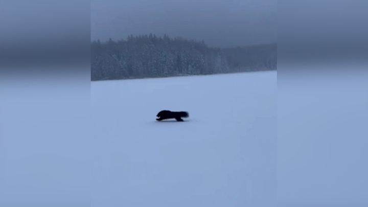 Мчащуюся по снегу россомаху сняли на видео  в Ленинградской области