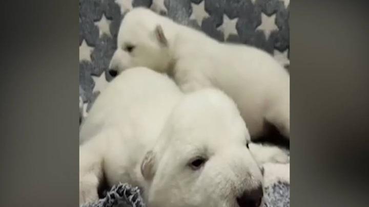 Красноярский белый медведь Седов стал отцом