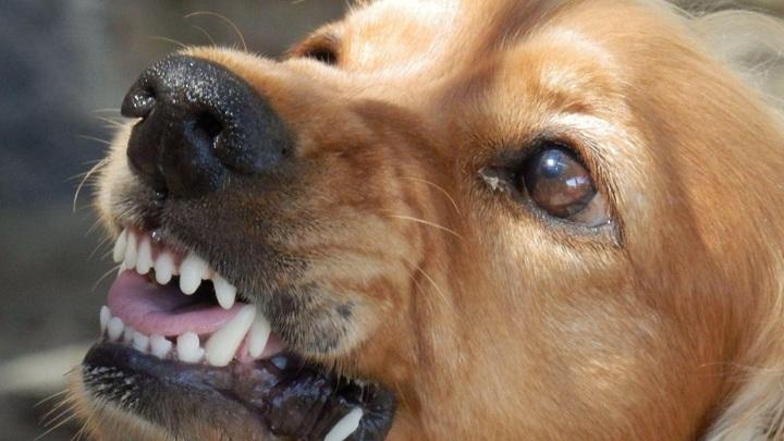 В Сатке собака откусила ребенку губу