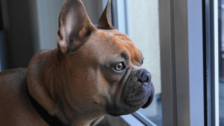Мошенники из Владимирской области обманули женщину при покупке щенка бульдога