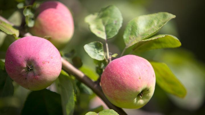 Плоды импортозамещения: собран рекордный урожай фруктов и ягод