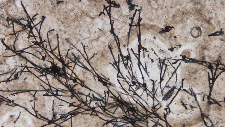 """Длинные и тонкие """"нити"""", вероятно, являются окаменевшими грибными гифами."""
