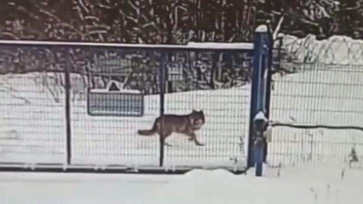 В Коми заяц спасся от волка в аэропорту