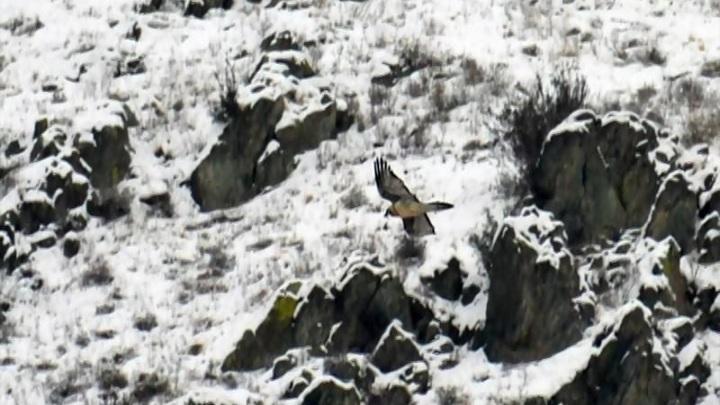 Редкая птица-бородач залетела в Саяно-Шушенский заповедник