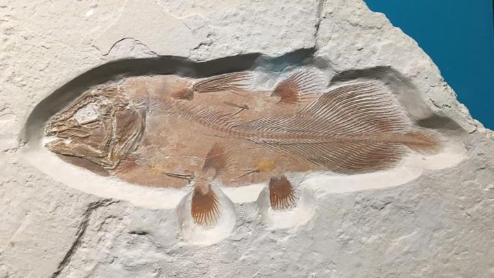 Полная окаменелость рыбы из отряда целакантообразных.