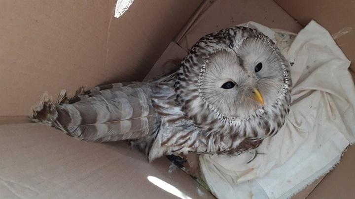 В Самарской области сова врезалась в окно местной администрации