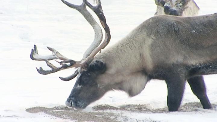 Из кузбасского зоопарка сбежали олени