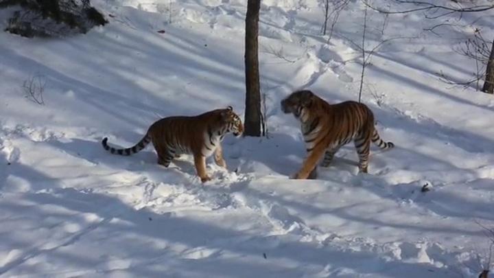 Камеры запечатлели свидание тигра Амура
