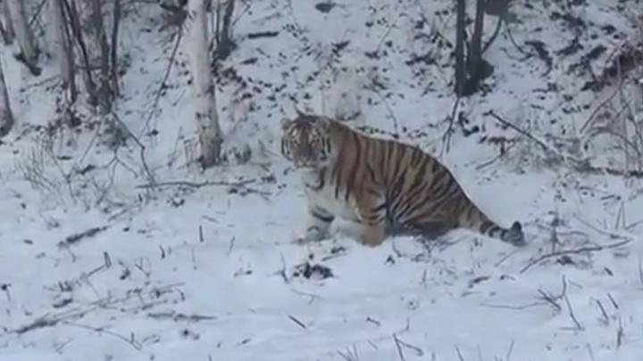 Упитанного тигра сняли на видео в Хабаровском крае