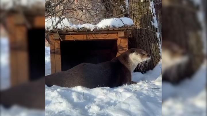 Ленинградский зоопарк поделился видео с выдрой Фиником в снегу