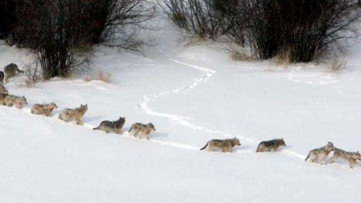 В стае волков в Нижегородской области опознали собак