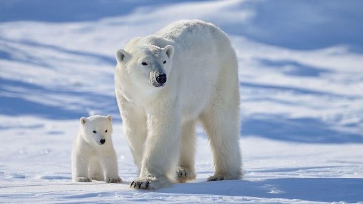 В липецком зоопарке пройдет акция в честь белых медведей