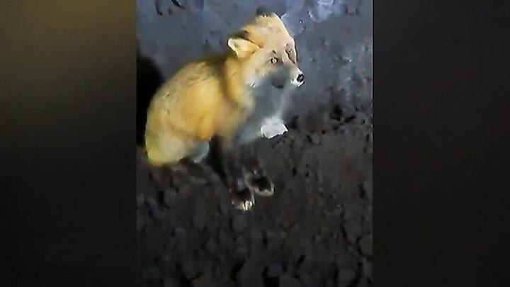 В Лесосибирске лиса приходит к одной из котельных повидать бульдозериста