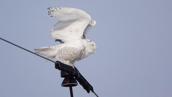 В объектив фотографа попала редкая гостья Южного Урала – полярная сова