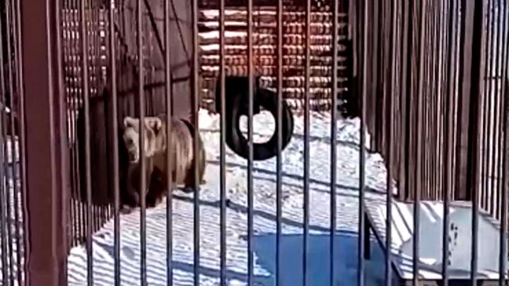 На башкирской турбазе сняли тренировку медведя-спортсмена
