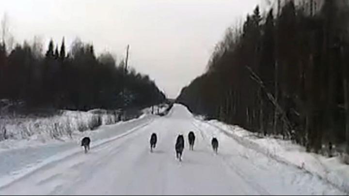 В Архангельской области автомобилистам встретилась стая волков