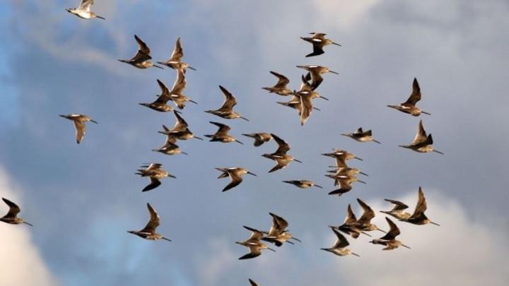 Вирус, опаснее СОVID-19, могут принести перелетные птицы
