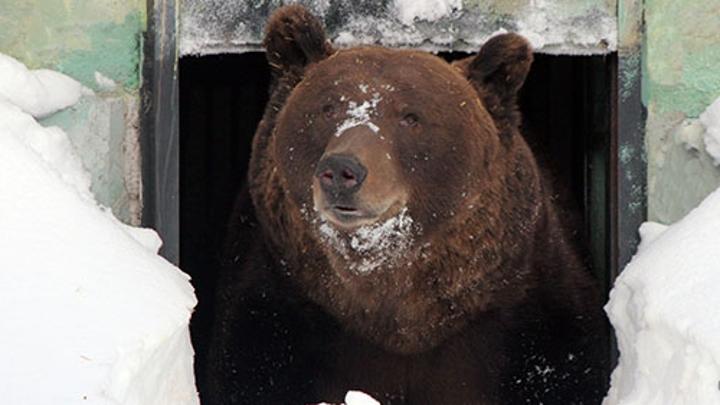 В нижегородском зоопарке пробудился первый бурый медведь