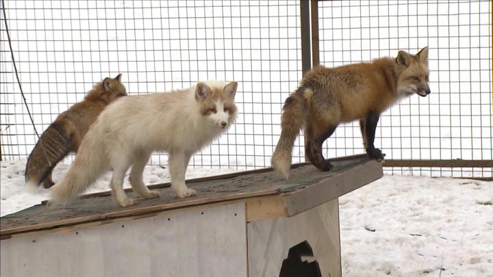 Зверинец дома: жительница подмосковного Волоколамска спасает лис
