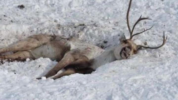 На Ямале от истощения гибнут олени
