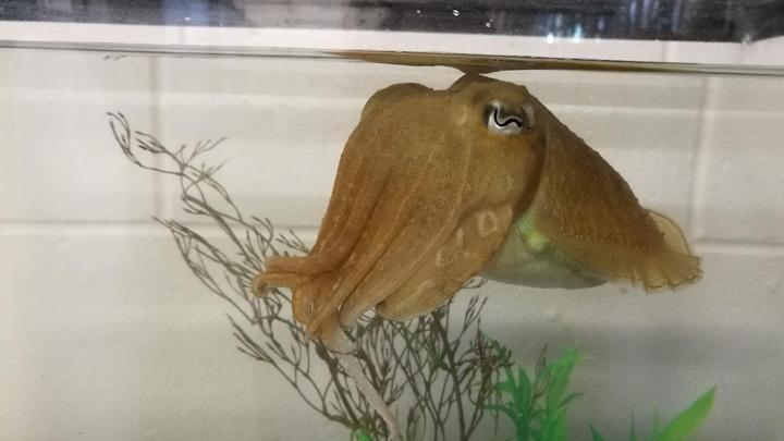 Лекарственная каракатица Sepia officianalis, сфотографированная в Центре морских ресурсов Лаборатории морской биологии в Массачусеттсе.