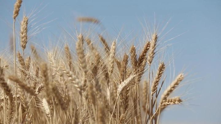 РЗС повысил прогноз сбора зерна в России на 2021 год