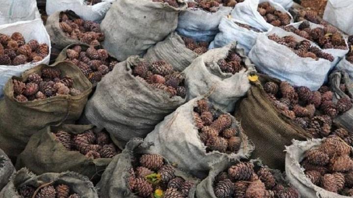 В Приморье задержаны подозреваемые в хищении тонны кедрового ореха