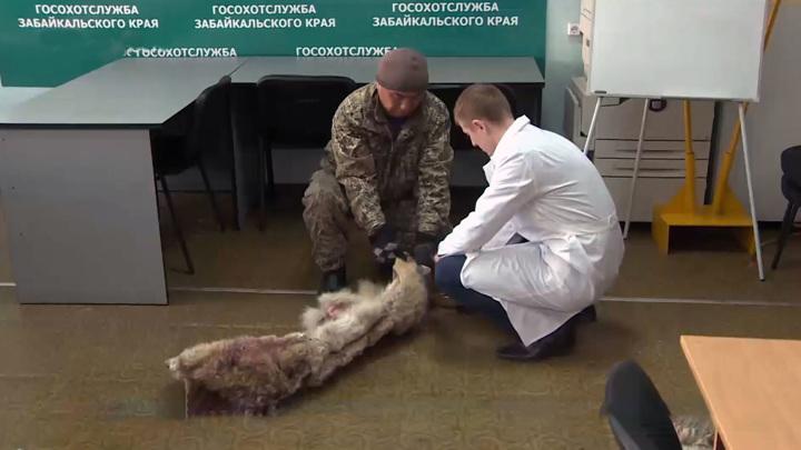 Охота на волков: за каждого зверя забайкальцы получат по 7 тысяч рублей