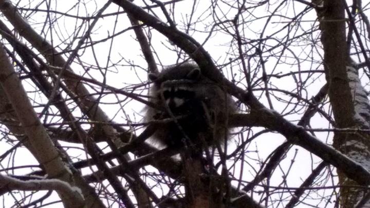 В Ярославле от нападающих ворон спасают залезшего на дерево енота