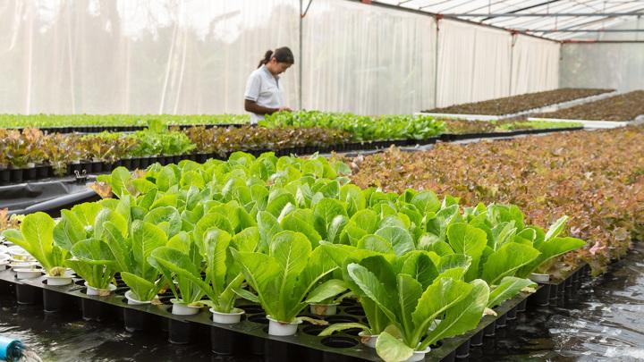 Даже фильтруя часть солнечного света, полупрозрачные солнечные панели не влияют на качество урожая.