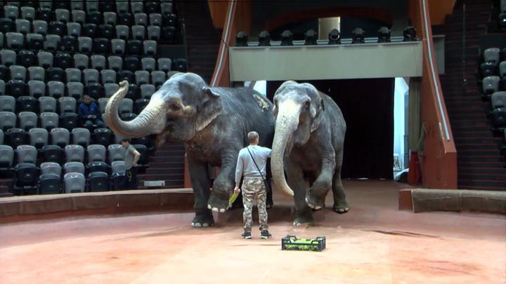 Новая атака: драчливая слониха из Казанского цирка покалечила человека