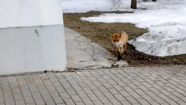 По московскому парку Останкино гуляет лиса