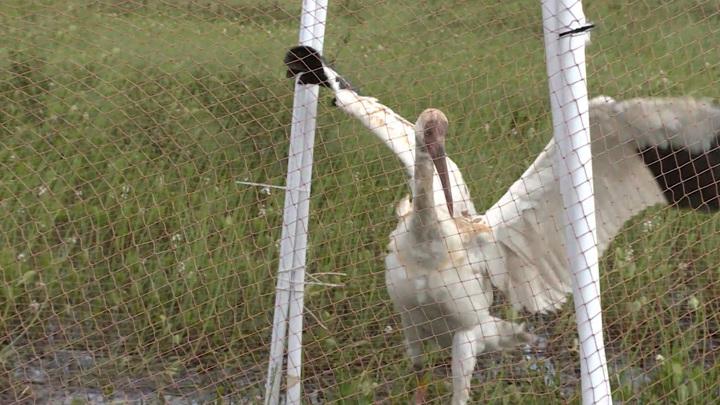 Ученые обсуждают восстановление популяции белого журавля