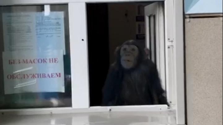 Входные билеты в зоопарк Новосибирска продает шимпанзе