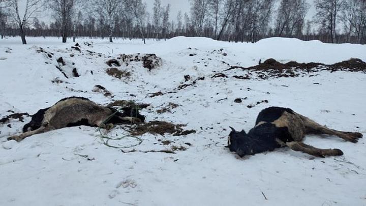 Новосибирский Минсельхоз: в Кыштовском районе коровы умерли от недостатка воды