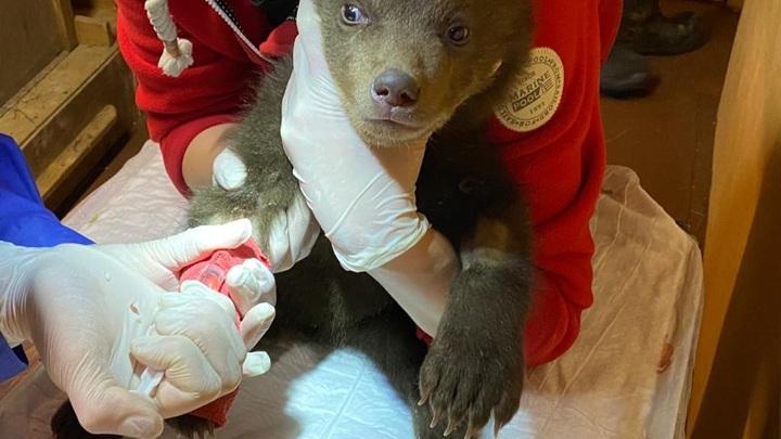 Ветеринары не смогли выходить одного из карельских медвежат, найденных в берлоге