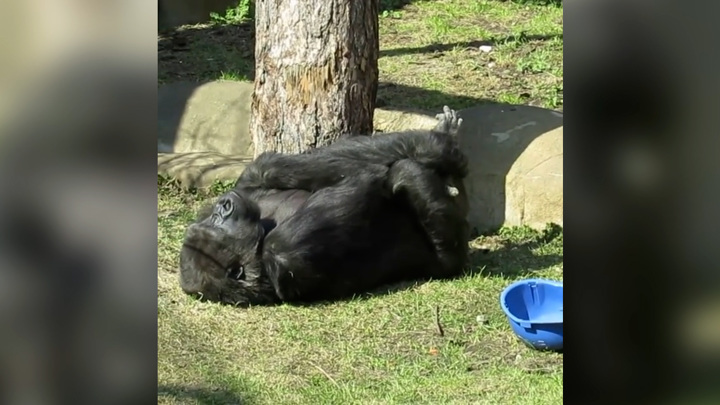 Гориллы вышли в открытый вольер в Московском зоопарке