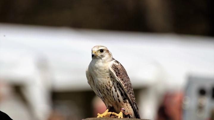 Тату-мастера для редких птиц ищут в Алтайском крае