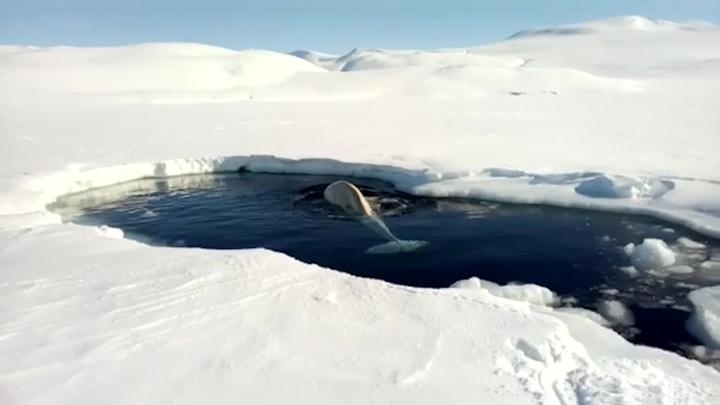 Белухи в западне: о спасении китов позаботилась погода