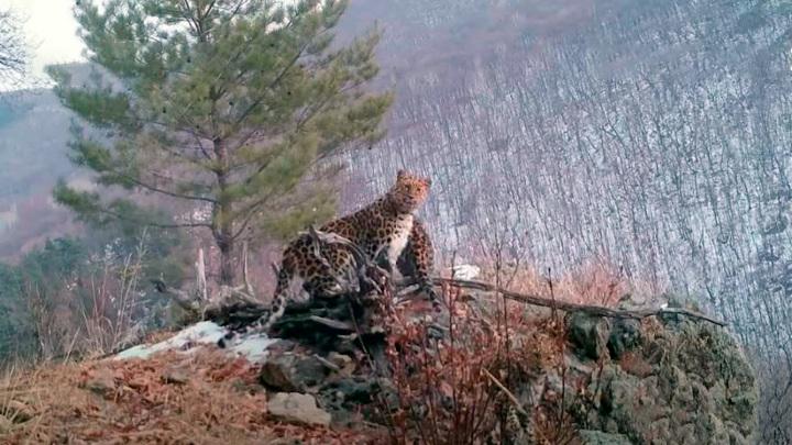 Великое переселение краснокнижных кошек: дальневосточным леопардам стало тесно в Приморье