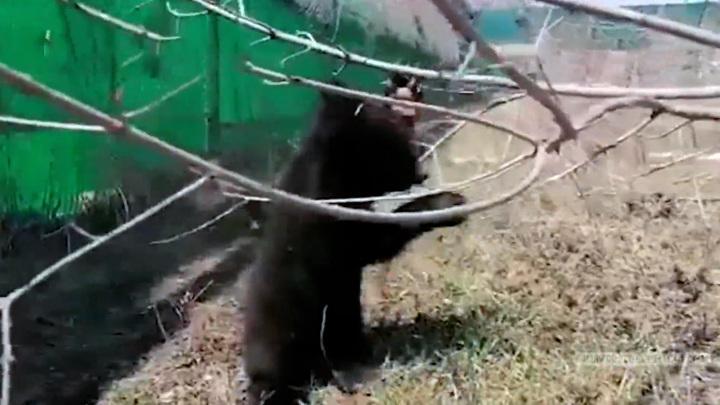Медвежьи ясли: приморских косолапых сирот готовят к выпуску в дикую природу