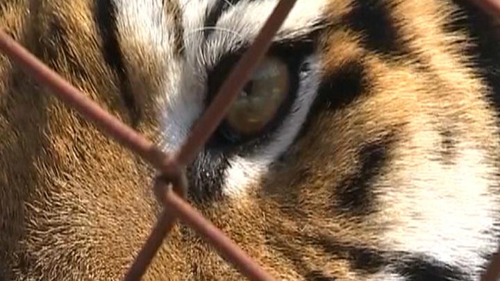 Меру пресечения убийцам тигра Павлика оставили без изменения