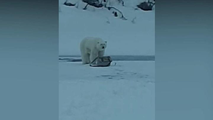 Белый медведь отобрал снасти у якутского рыбака