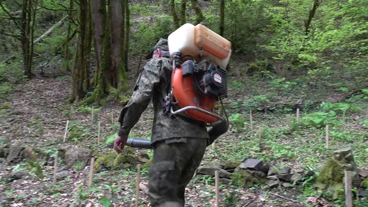 Колхидский самшит в Сочи защищают от бабочки-огневки