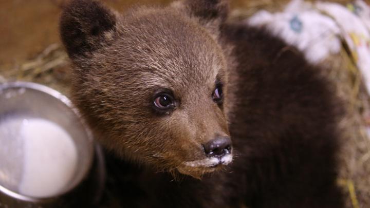 Из Псковской области в Тверскую привезли медвежонка-подкидыша