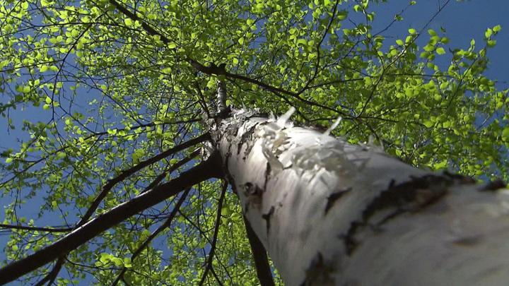 Пережить цветение березы: холодная весна создала проблемы аллергикам