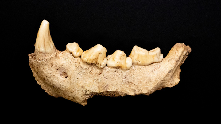 Окаменелый фрагмент челюсти неандертальца.
