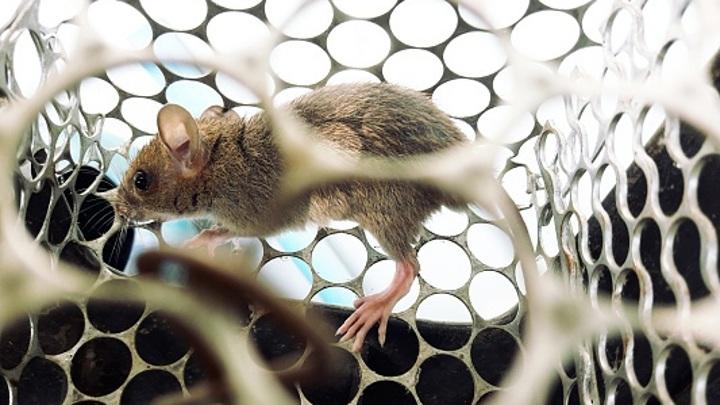 Несколько человек в Саратовской области заразились мышиной лихорадкой
