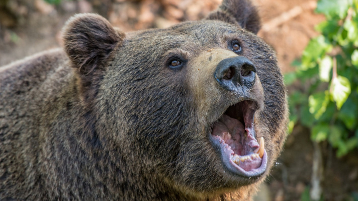 Встреча мужчины с медведем в лесу Томской области оказалась роковой