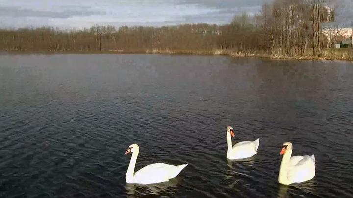 Дружелюбные соседи: стая лебедей гостит на озере Кожласолинском в Марий Эл